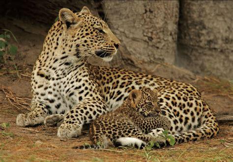Jaguar Nocturnal Leopard Symbolism Leopard Meaning Spirit Animal