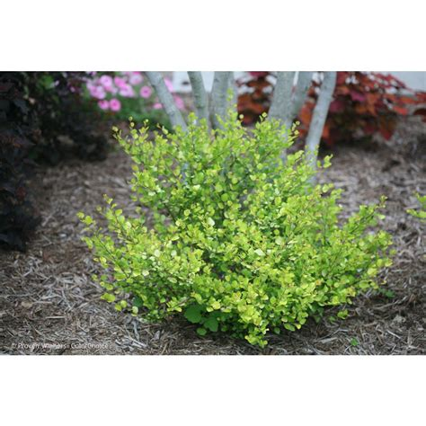 gal variety shrubs trees bushes the home depot ff ee