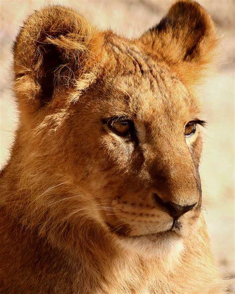 imagenes de leones para ni os dibujos de leones beb 233 s imagui