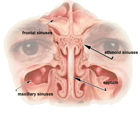 diagram of sinus cavity pin headache quotes your on