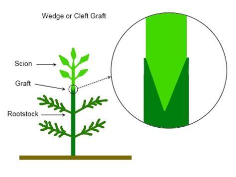 scion plant grafting eggplant onto devil plant deep green permaculture