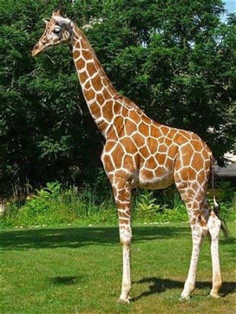 imagenes reales de jirafas la jirafa y sus significados