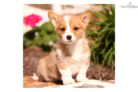 teacup corgi puppies for sale corgi pembroke puppy for sale near reading pennsylvania 12d8b8de a5f1