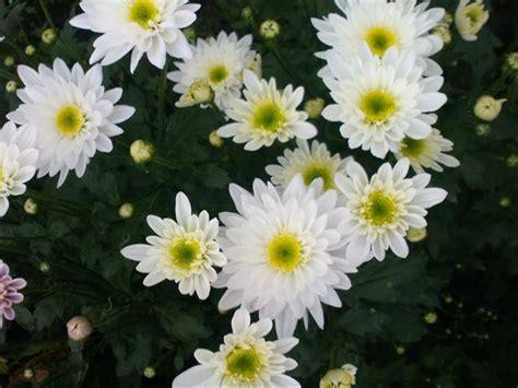 jual bunga pikok putih  lapak rancupid farm kebunrancupid