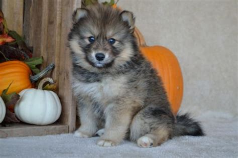 pomsky puppies for sale in mn gorgeous pomsky puppies craigspets