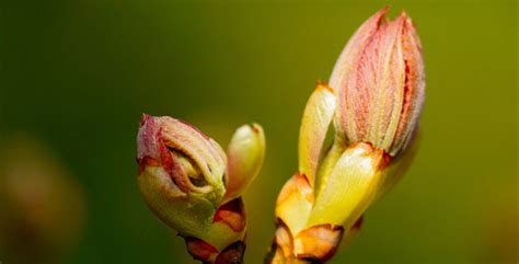 fiori di bach chestnut bud chestnut bud the bach flowers
