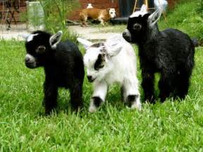 healthy milk and more backyard goats microfarm organic