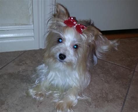 parti colored yorkies for sale best 20 parti yorkies for sale ideas on yorkie dogs for sale dogs