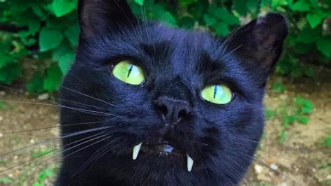 cat pictures monk is your average black cat but with fangs