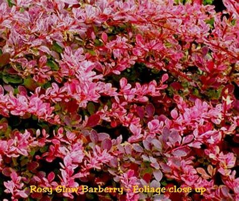 rosy glow barberryberberis