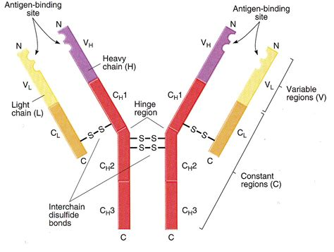 ab diagram diagram of an antibody 28 images development of equine
