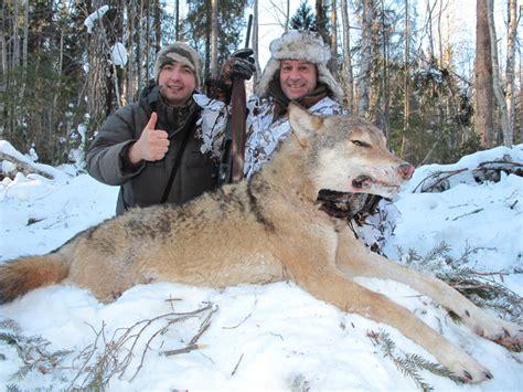russian wolf wolf in russia stalker