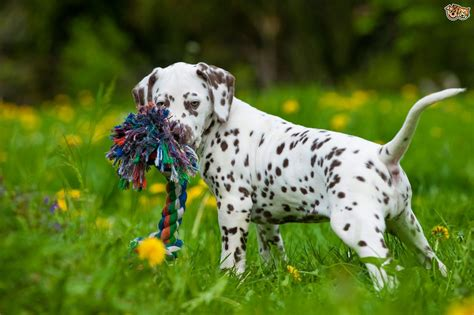 can i take my puppy outside before vaccinations caring for your dalmatian puppy pets4homes