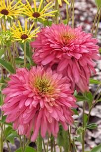 coneflower colors new and coneflower varieties hgtv