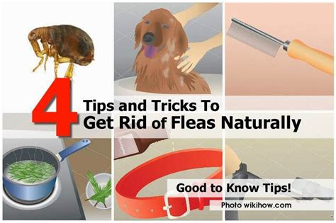 how to get rid of fleas in your house fast 4 tips and tricks to get rid of fleas naturally creative ideas