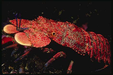 the lobster lobster animal wildlife