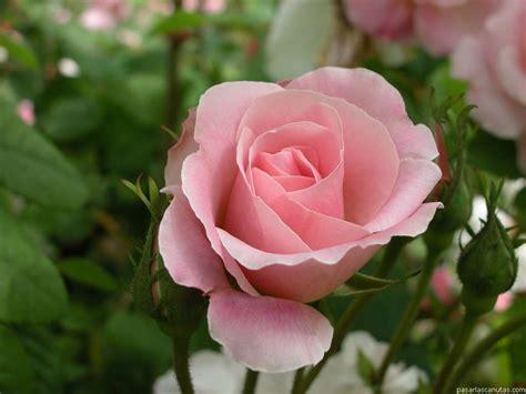 imagenes de flores rosas fotografias de flores rosas 120 fotos de rosas de calidad