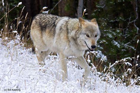 home defenders of wildlife blog wolf weekly wrap up defenders of wildlife blog