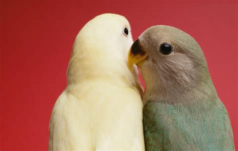 love bird rescue keeping and care of lovebirds as pets