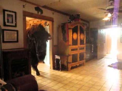 buffalo house buffalo pees in house youtube
