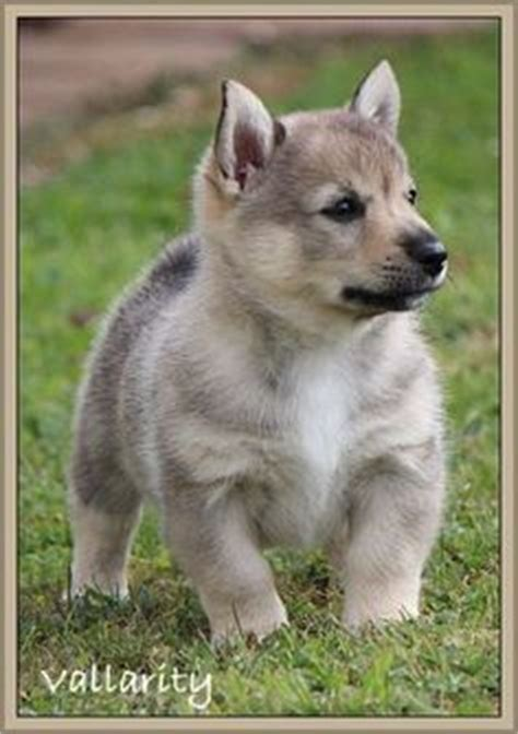 swedish vallhund puppies for sale 1000 images about swedish vallhund on wolf corgi corgis and breeds