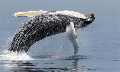 World S Whale Retailer Ends All Whale - giants of the whale facts stories wwf