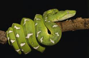 Boa Duvet Emerald Tree Boa Corallus Caninus Photograph By Pete Oxford