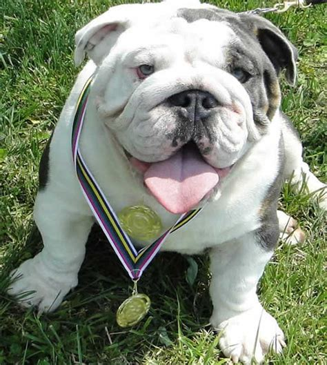 miniature blue bulldog puppies for sale pin miniature bulldog puppies for sale in illinois on