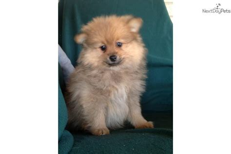 free pomeranian puppies in arkansas pomeranian for sale for 350 near rock arkansas 13b5c14c ef01