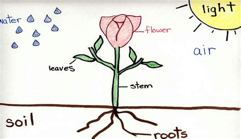 flower diagram flower diagram pictures to pin on pinsdaddy