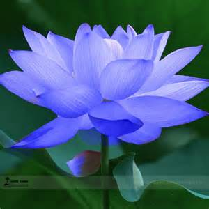 Lotus Flower Purchase Aliexpress Buy 1 Professional Pack 1 Seed Pack