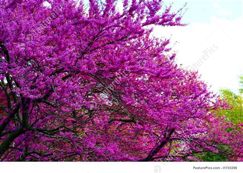 purple flowers in a tree stock picture i1743298 at featurepics