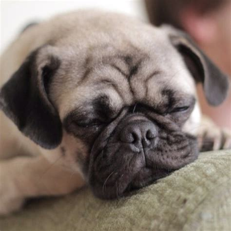 monkey baby pug want want want baby pug my favorite breed of pets and animals