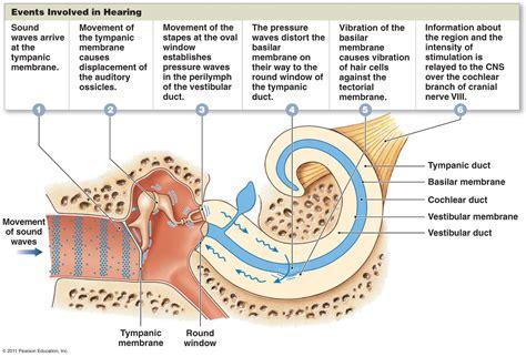hearing diagram the special senses