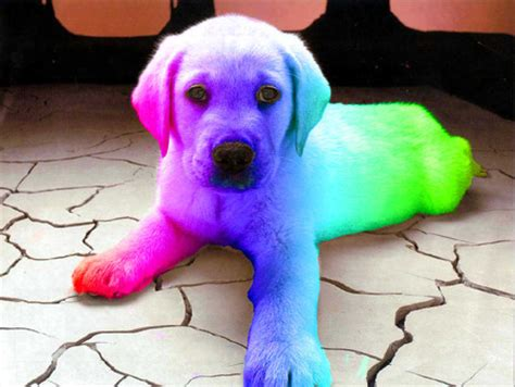 colored dogs rainbow dogs animals background wallpapers on