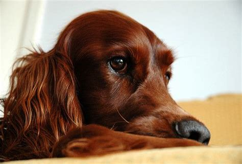 irish setter dog movie 126 best images about irish setter on pinterest irish