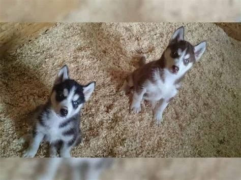 pomeranian husky for sale california omsky husky x pomeranian and meet and sacramento for sale
