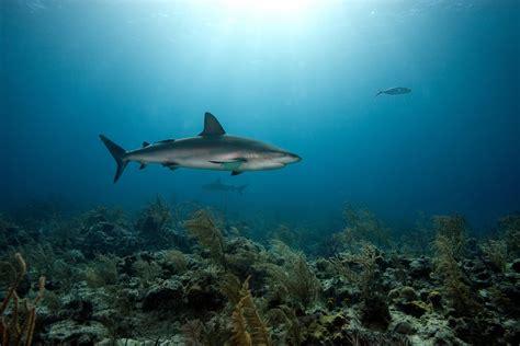 imagenes para fondo de pantalla de tiburones tiburon fondos de pantalla de tiburones wallpapers hd gratis