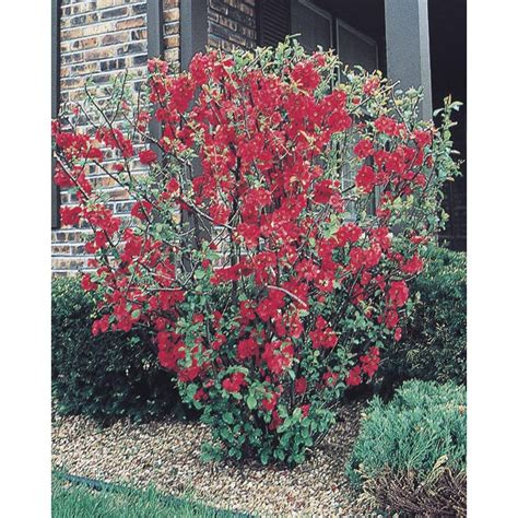 flowering quince shrub shop flowering quince flowering shrub l1217 at lowes