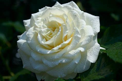 imagenes de flores rosas blancas im 225 gene experience 12 fotos de rosas blancas white