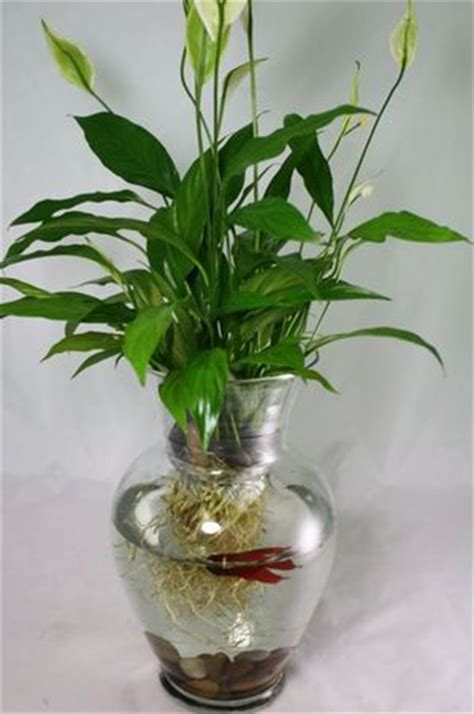 Betta Fish In Vase With Plant by Where The Children Play Where The Children Play