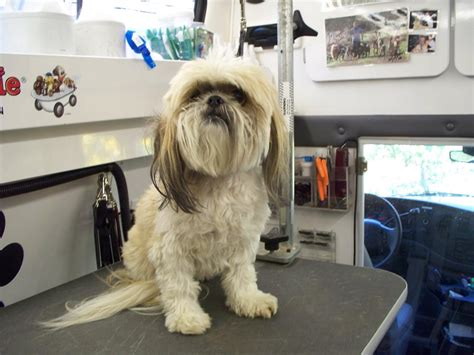 large shih tzu club doggie mobile grooming salon before and after photo gallery