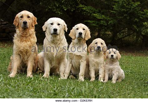 golden retriever sizes golden retriever puppies stock photos golden retriever puppies stock