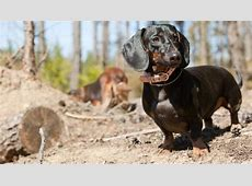 Dachshund, Wire Haired Dachshund, Long Haired Dachshund Foot Arch Muscles