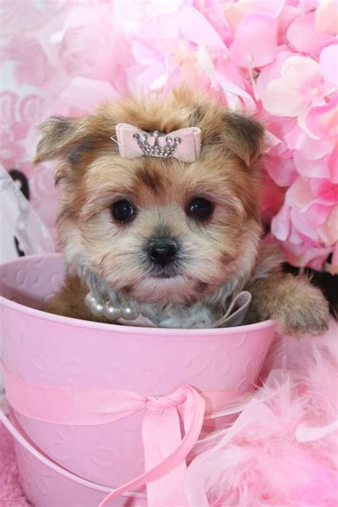 morkie puppies for sale in florida top 25 ideas about cutest tiny puppies for sale on morkie puppies for