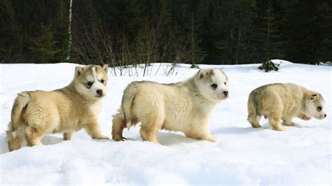 dogs india dear indian owners bernards and huskies do not