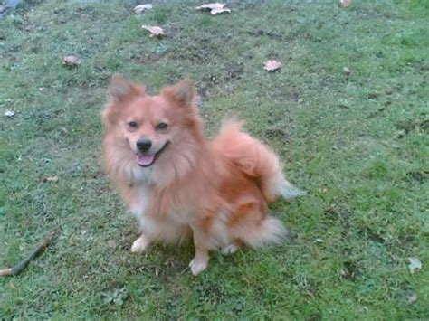 german spitz x pomeranian merlin 4 year german spitz cross pomeranian for adoption
