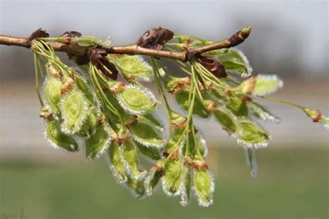 elm tree fruit tree flowers 4 bad april 2007