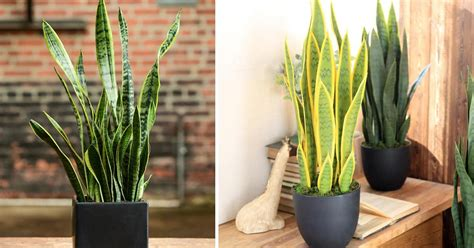 great snake plant benefits proven  research studies