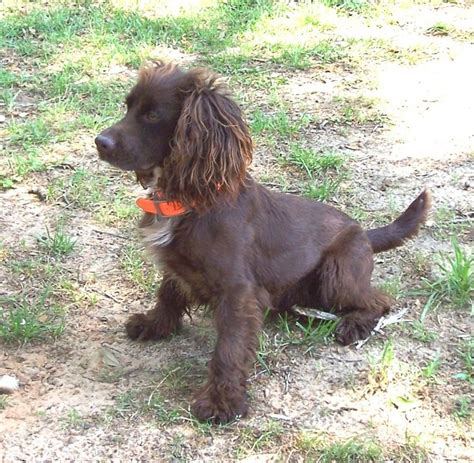 field spaniel puppies for sale 105 best images about х field spaniel on spaniel breeds image and